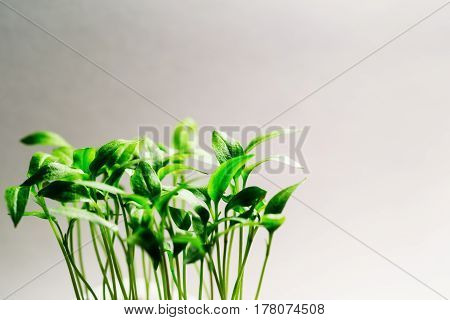 Close-up of pepper sprouts on white background
