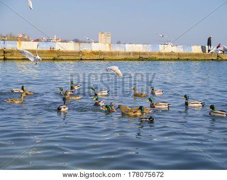 The beautiful ducks and seagulls on the Black sea