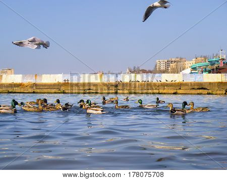 The ducks and seagulls on Black sea
