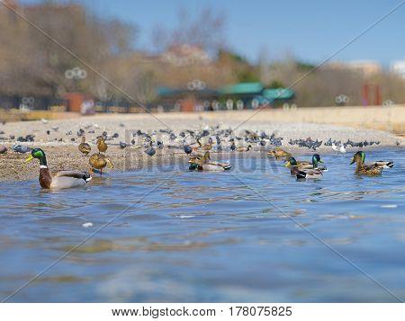 The beautiful ducks and seagulls on the sea
