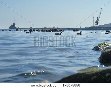 Cute ducks seagulls on the Black sea