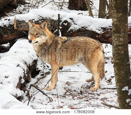 The she-wolf costs between the snow-covered tumbled-down trees