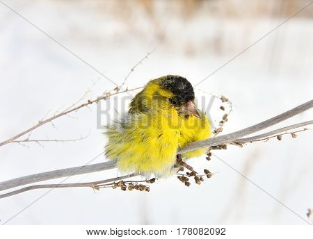 The ruffled-up siskin sits on a grass in the winter afternoon