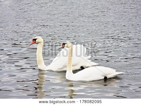 Married couple of white swans in the spring on the lake