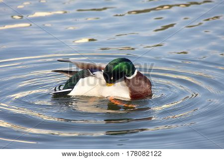 The drake cleans feathers on water in sunny day