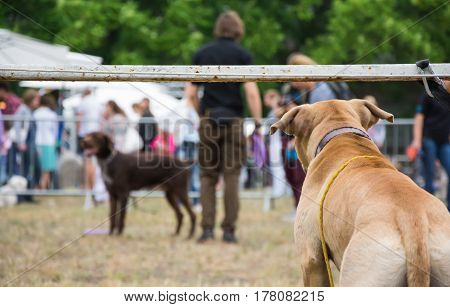 KYIV, UKRAINE - JUN 28, 2015: Back view of a lonely dog on a leash watching dogs and people taking part in dog show competition and training waiting for its time
