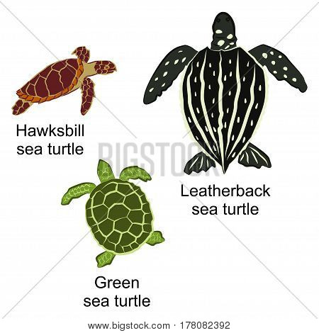 Vector illustration of three kinds of turtles. Brown hawksbill sea turtle black leatherback sea turtle and