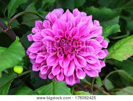 Chrysanthemum Flower Purple on garden in the park