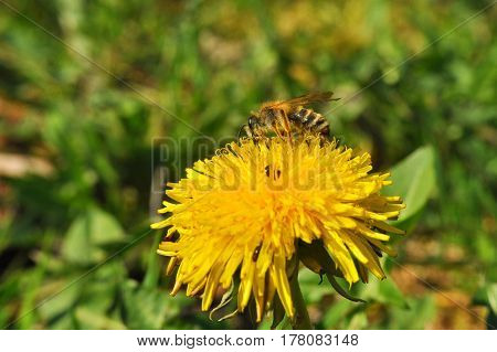Honey bee collects nectar on a single dandelion flower in a meadow