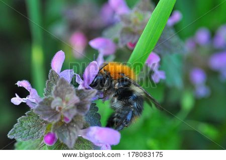 Bumble bee pollinating a wild flower in spring. Bumble feeding in nature