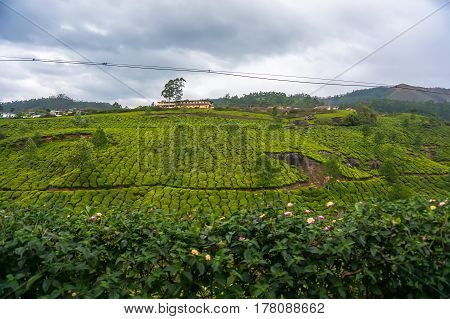 Landscape - Tea Plantation Fields In Morning Fog On Sunrise
