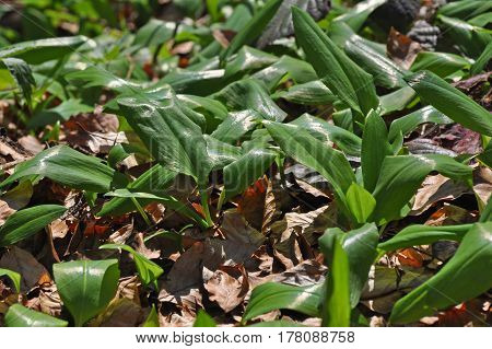 Wild garlic ramson or bear garlic growing in forest in spring