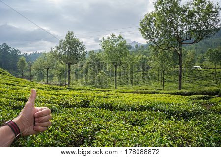 Hand Showing Thumb Up On The Background Of Tea Plantations. India, Munnar, Kerala.