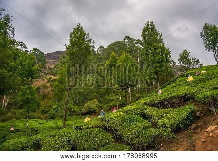 Women Picking Tea Leaves In A Tea Plantation, Munnar Is Best Known As India's Tea Capital.