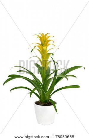 a yellow Bromeliad Guzmania plant in a white ceramic plant pot, on a white background