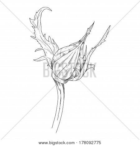 Flower ink sketch. Isolated on white background. Vector illustration for your design