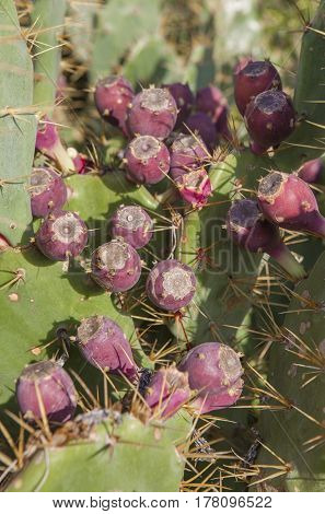Opuntia stricta cactus purplish-red fruits El Rompido Cartaya Huelva Spain