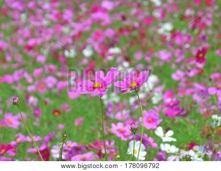 Closed up Two Blooming Pink Cosmos Flowers amongst the Cosmos Field of North Eastern Thailand