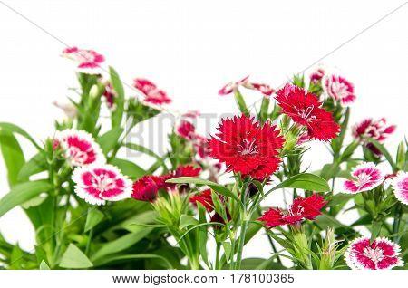 Crimson Picot Natural Outdoor Pink cushion, decoration,