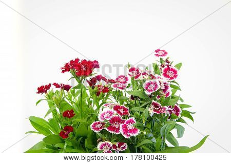 Crimson Picot Natural Outdoor Pink  decoration, deltoides, dianthus,