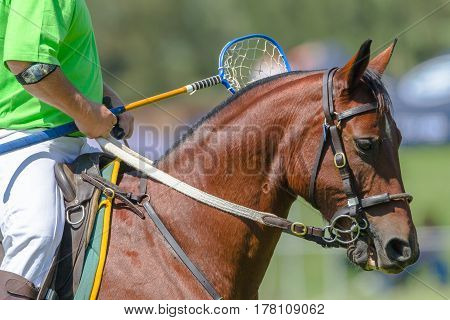 Polocrosse Horse Player