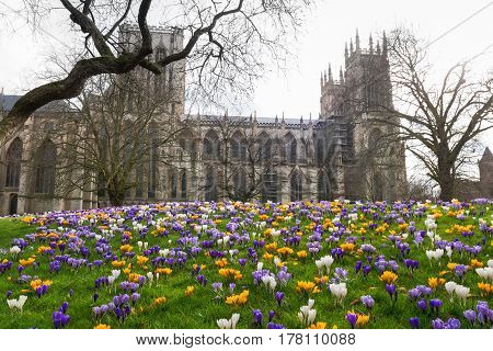 Glade of multicolored crocuses in the Dean's Park in front of York Minster, UK
