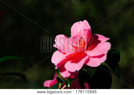 Pink camellia flower on sunny spring day
