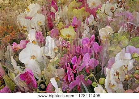 Colorful Orchid Types In Florist Shop