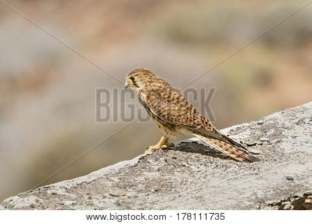 A Common Kestrel on a wall in Tenerife Spain with selective focus.