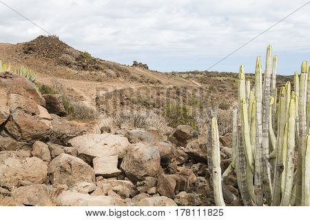 Canary Spurge In Tenerife, Spain