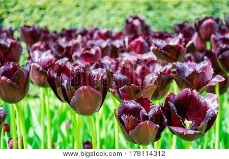 Blooming Dark Violet (burgundy) Tulips In Lawn, Selective Focus, In Keukenhof Park In Netherlands, E
