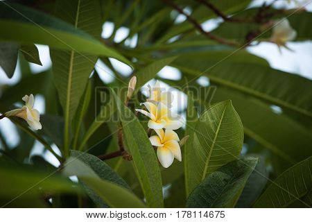 Beautiful flower of Plumeria against the background of leaves, Bali
