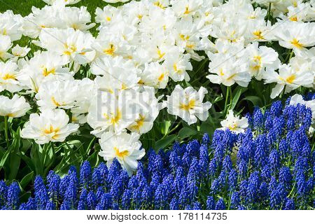 White blooming tulips and blue hyacinth in Keukenhof park in Netherlands Europe