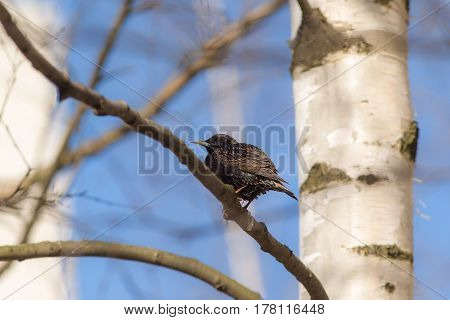 Starling on a birch branch in early spring