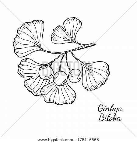 Ginkgo Biloba plant leaf branch berry. Isolated on white medicinal plant. Hand drawn sketch illustration. Ingredient for hair and body care cream lotion treatment.