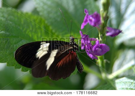 Heliconius, melpomene, postman, common postman butterfly black, white and red wings on a purple flower