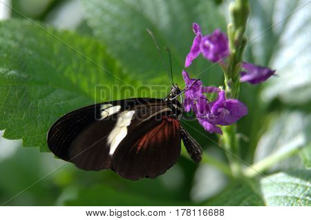 Butterfly Heliconius, melpomene, postman, common postman black white and red wings on a flower macro