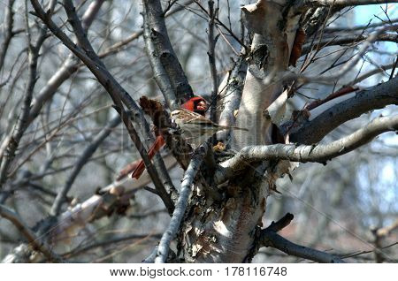 white throated sparrow and northern cardinal red male perched in a tree under a clear blue sky