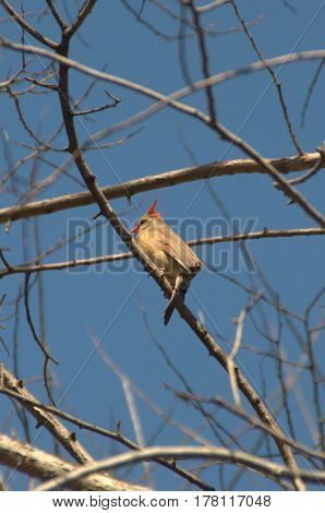female northern cardinal perched on a tree branch under a clear blue sky