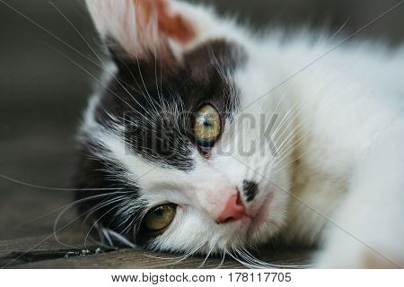 Cute Kitten Cat With Yellow Eyes And Furry Coat