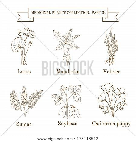 Vintage Collection Of Hand Drawn Medical Herbs And Plants, Lotus, Mandrake, Vetiver, Sumac, Soybean,