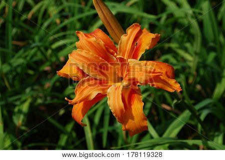 Flowering orange double daylily in a garden.