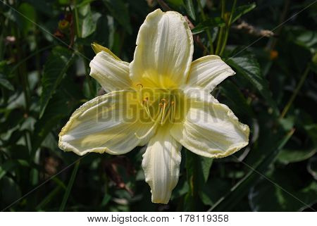 Pale yellow lily flower blossom in a garden.