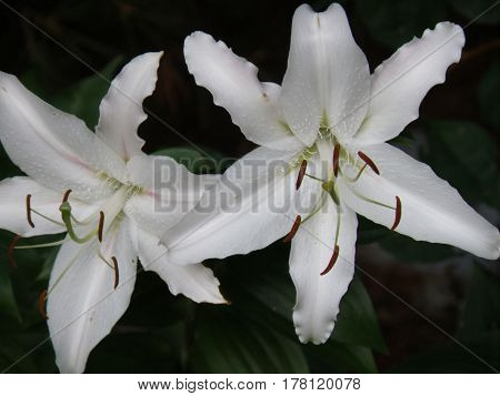 Flowering pair of white stargazer lilies in a garden.