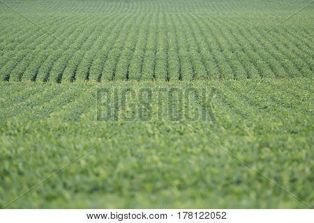 an Illinois soybean field in mid summer