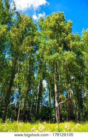 high birch trees with green foliage. Background landscape