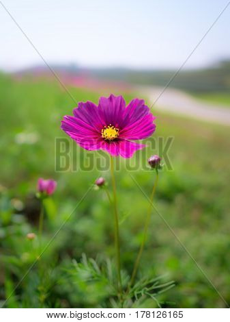 Close-up image of pink cosmos (bipinnatus) flower on flower garden background. Cosmos is also known as Cosmos sulphureus Selective Focus