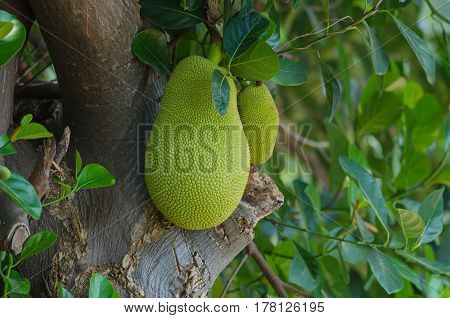 jackfruit (alternately jack tree jakfruit or sometimes simply jack or jak; scientific name Artocarpus heterophyllus) on a tree