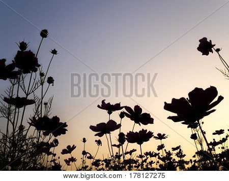 Silhouette of cosmos (bipinnatus) flowers against the twilight sky background. Cosmos is also known as Cosmos sulphureus with copy space Selective Focus