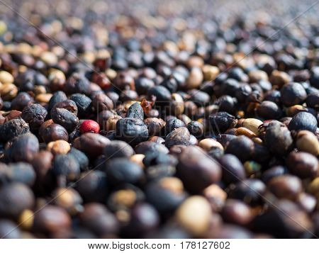 Close-up image of fresh coffee berry around of dried coffee berries group, Selective focus